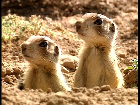 stockvideo's en b-roll-footage met cu two prairie dogs looking out of burrow - surprise