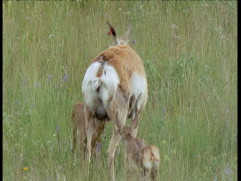 Two pronghorn antelope fawns suckle from mother, North Dakota