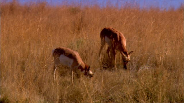 Two pronghorn antelope grazing in field / Sheridan, Wyoming