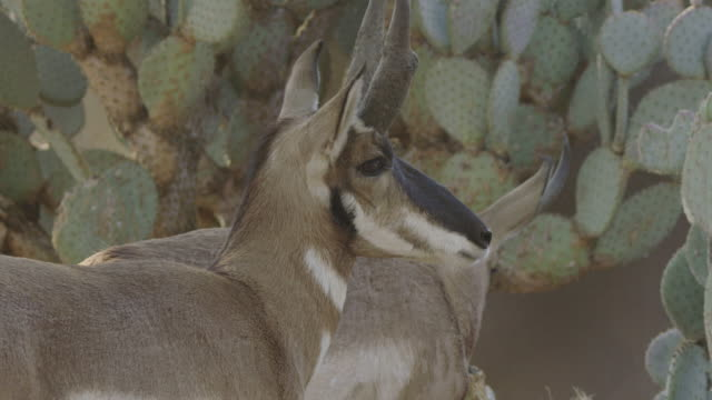 two pronghorns and a cactus - プロングホーン点の映像素材/bロール