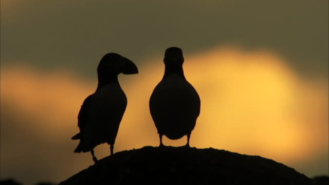 ms two puffins fratercula arctica in silhouette against the sunset in the hebrides on the west coast of scotland - hebrides stock videos & royalty-free footage
