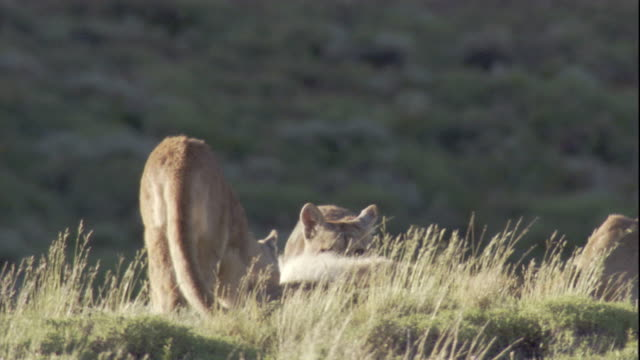 two pumas arrive at their mother's guanaco kill. available in hd. - adolescence stock videos & royalty-free footage
