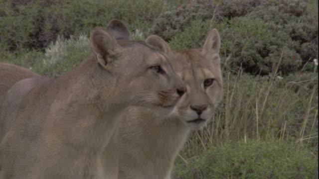 vídeos de stock, filmes e b-roll de two pumas look around. available in hd. - américa do sul