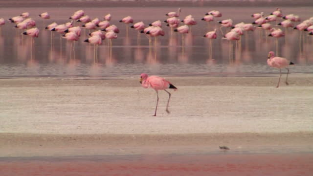 ms pan two puna flamingos walking on borax island in the laguna colorada while a large flock of andean flamingos sleeps in the pink waters in background / eduardo avaroa faunistic reserve, potosi, bolivia - flamingo stock-videos und b-roll-filmmaterial
