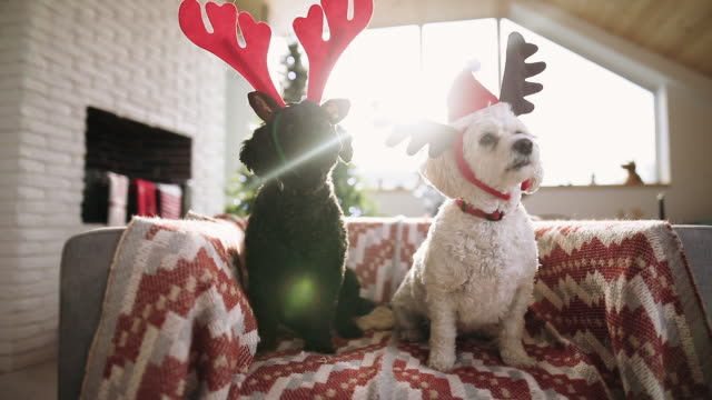 two puppy friends celebrating christmas - christmas stock videos & royalty-free footage