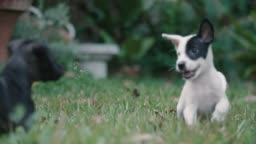 Two puppy running on the grass.