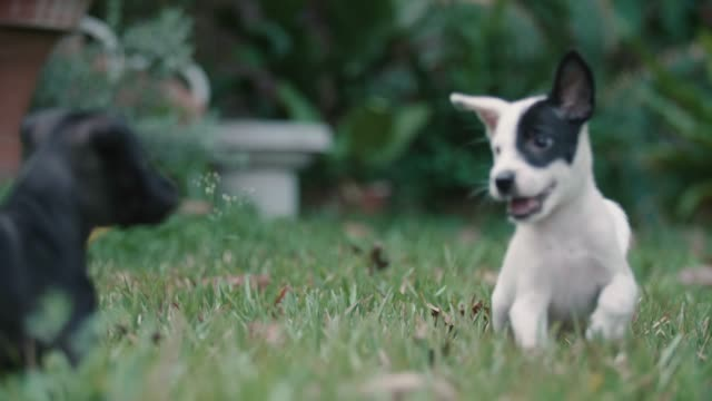 vídeos de stock e filmes b-roll de two puppy running on the grass. - cachorro