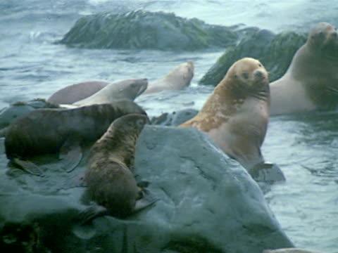 two pups on rock w/ sea lion cows in water fg. female nipping pup climbing on rock. - アシカ点の映像素材/bロール