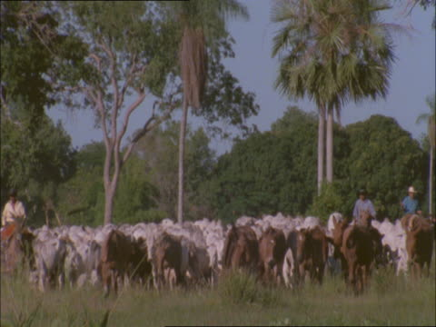 vídeos de stock e filmes b-roll de two ranchers herd mules and cattle through a field. - rancheiro