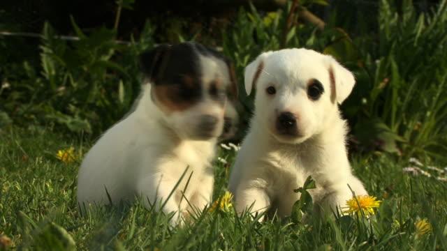 CU, Two Rat Terrier puppies in grass