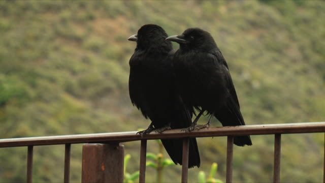 MS Two ravens (Corvus corax) on railing / Nosy Be, Madagascar