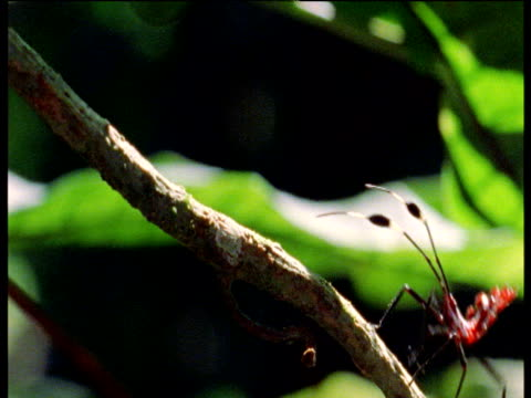 two red ants march over thin branch of tree with green leaves in background amazon - marching stock videos and b-roll footage