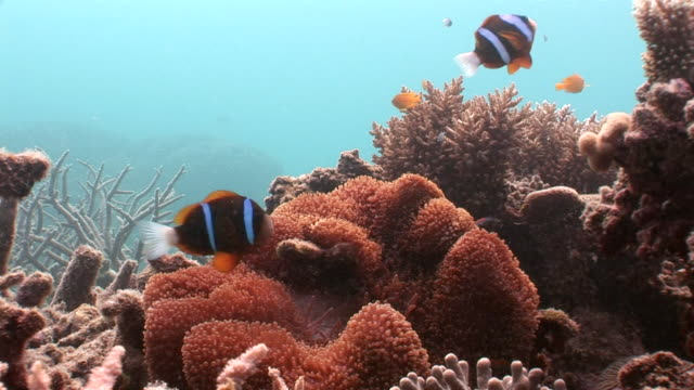 ms zi two red clown fish dart in anemone audio / queensland, australia - clown fish stock videos & royalty-free footage