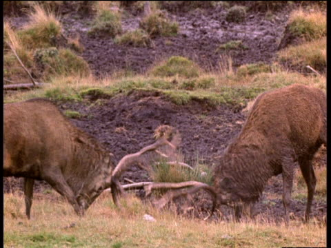 two red deer stags locking antlers during fight - antler stock videos & royalty-free footage