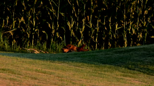 two red fox playing - lancaster county pennsylvania stock videos & royalty-free footage