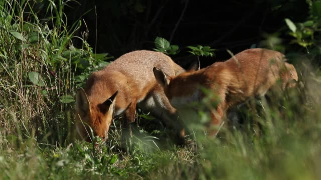 vidéos et rushes de two red fox, vulpes vulpes, are feeding at the entrance to their den. - terrier création animale