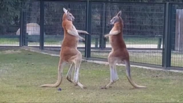 two red kangaroos fight at bursa zoo on february 14, 2016 in bursa, turkey. - 攻撃的点の映像素材/bロール