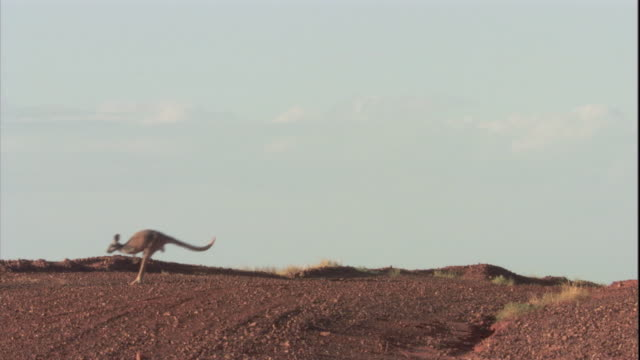 two red kangaroos hop across the outback, new south wales. available at hd. - känguru bildbanksvideor och videomaterial från bakom kulisserna