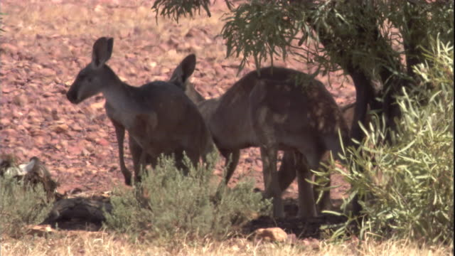 Two red kangaroos rest in the shade of a tree, New South Wales. Available in HD.