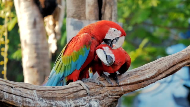 two red parrot macaw - parrot stock videos & royalty-free footage