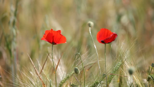 Two Red Poppies In Barley Field Swinging In Wind