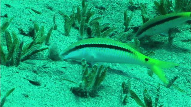 ms two red sea goatfish feeding (parupeneus forsskali) among sea grass in red sea / sharm-el-sheikh, egypt  - goatfish stock videos & royalty-free footage