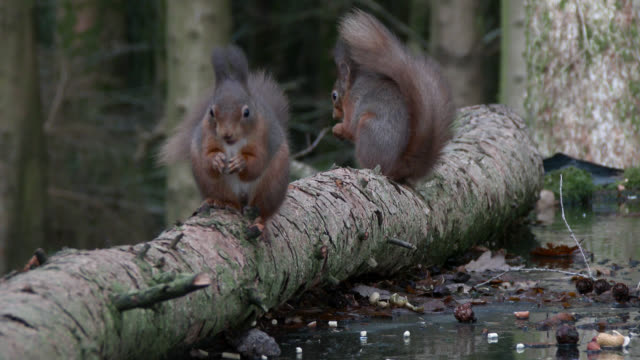 Two red squirrels feeding in Scottish woodland