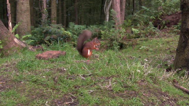 two red squirrels in an area of scottish woodland in south west scotland - galloway scotland stock videos & royalty-free footage