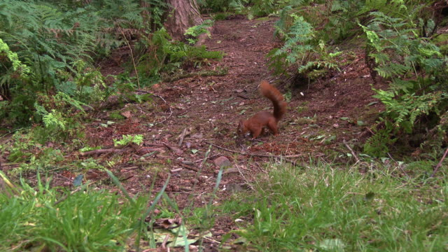 two red squirrels in scottish woodland on a summer morning - johnfscott stock videos & royalty-free footage