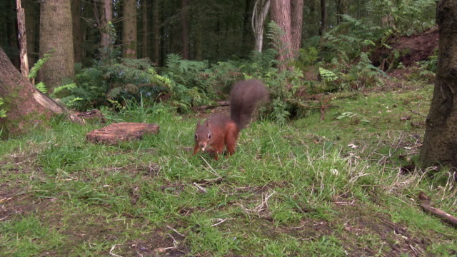 two red squirrels looking for food in an area of scottish woodland in south west scotland - johnfscott stock videos & royalty-free footage