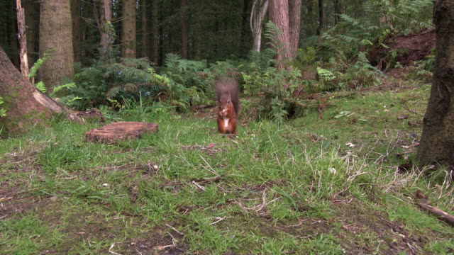 two red squirrels looking for food on the ground in an area of scottish woodland in south west scotland - galloway scotland stock videos & royalty-free footage