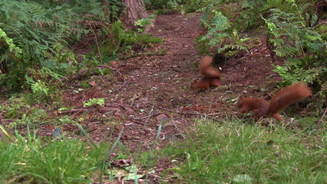 two red squirrels native to scotland searching for food in woodland on a summer morning - johnfscott stock videos & royalty-free footage
