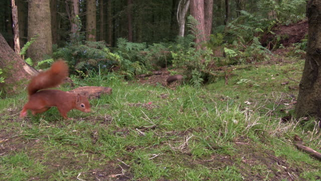two red squirrels searching for food in an area of scottish woodland in south west scotland - johnfscott stock videos & royalty-free footage
