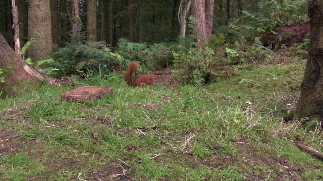 two red squirrels searching for food in scottish woodland on a summer morning - johnfscott stock videos & royalty-free footage
