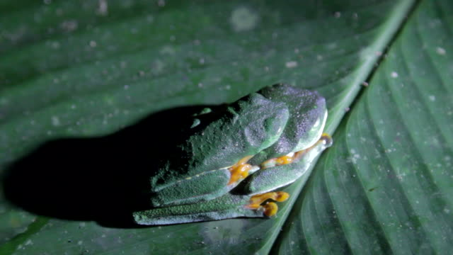 vídeos de stock, filmes e b-roll de two red-eyed green tree frog at night - camuflagem