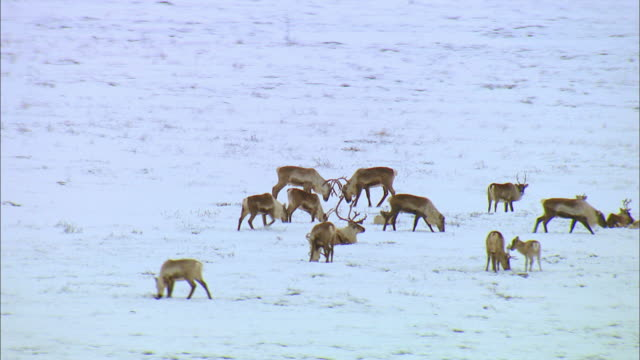 two reindeer fighting with its antler on snowfield - antler stock videos & royalty-free footage