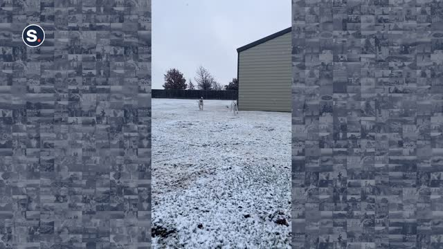 two rescue dogs enjoyed their first snowfall in their garden in amarillo, texas, as seen in this video, uploaded on november 28. milo and apollo can... - sorghum stock videos & royalty-free footage