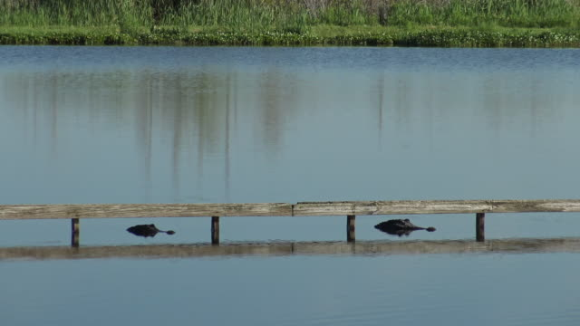 two resting alligators in the water - wildlife conservation stock videos & royalty-free footage