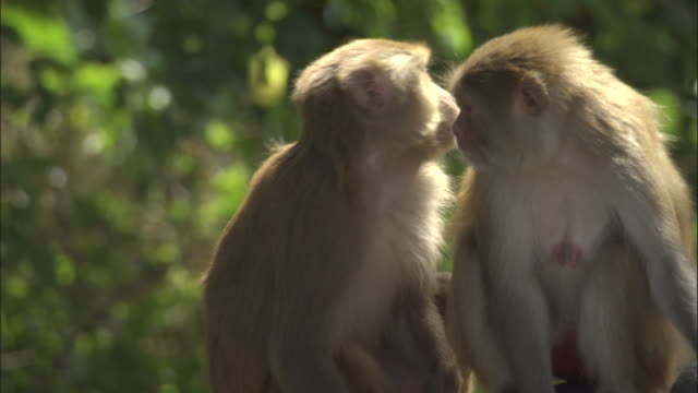 two rhesus macaques look around, rishikesh available in hd. - primate stock videos & royalty-free footage