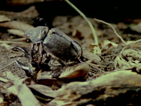 vídeos y material grabado en eventos de stock de two rhinoceros beetles fighting wrestling on top of dried leaves on forest floor on top is female w/ no horns male turning female around over top of... - dynastinae