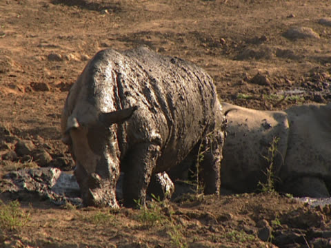 two rhinos in a mud pit. one is motionless on its front, while the second is on its knees to begin with. it rolls over onto its side for a second, then moves back upright. shot in tshukudu. - 横向きに寝る点の映像素材/bロール