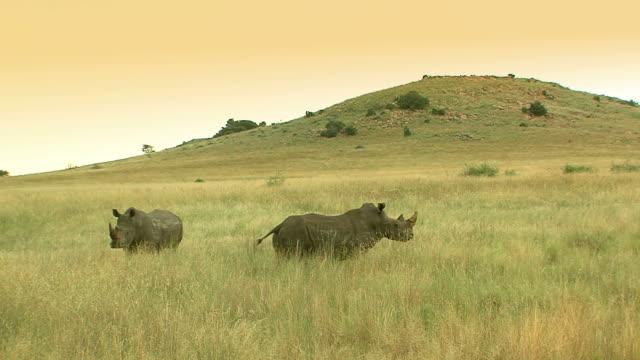 two rhinos - rhinoceros stock videos & royalty-free footage