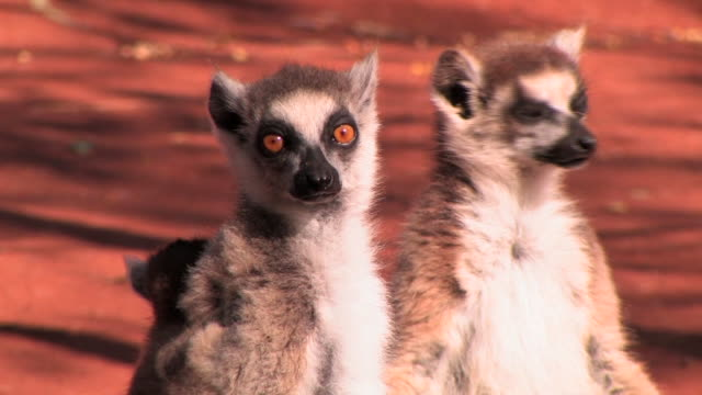cu, two ring-tailed lemurs (lemur catta) with baby sitting on ground, berenty private reserve, toliara province, madagascar - small group of animals stock videos & royalty-free footage