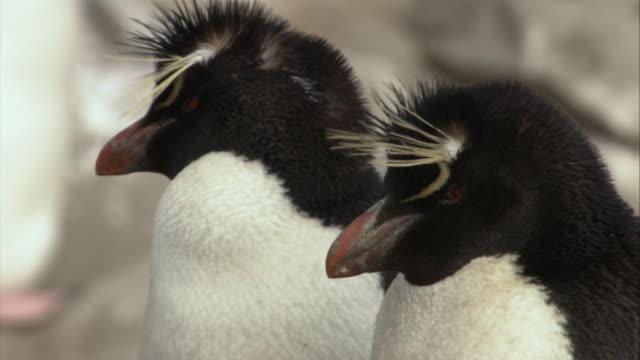stockvideo's en b-roll-footage met cu, two rockhopper penguins, headshot, new island, antarctica - atlantische eilanden