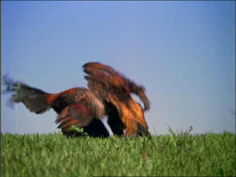 Two roosters fighting on grass outdoors