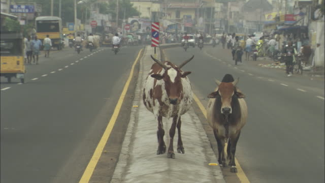 WS, Two sacred cows standing on busy street, India