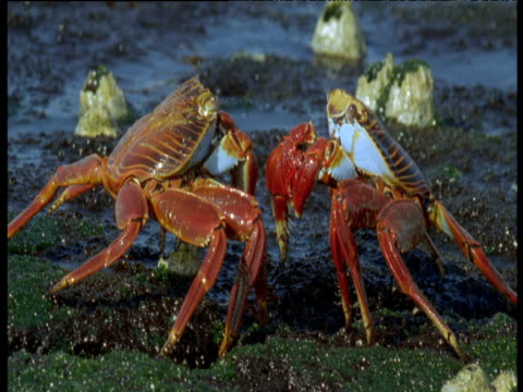 Two Sally lightfoot crabs face each other and wave claws as wave breaks over them, Galapagos