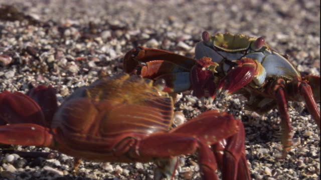 two sally lightfoot crabs walk over a pebble shore facing each other. available in hd. - 対決点の映像素材/bロール