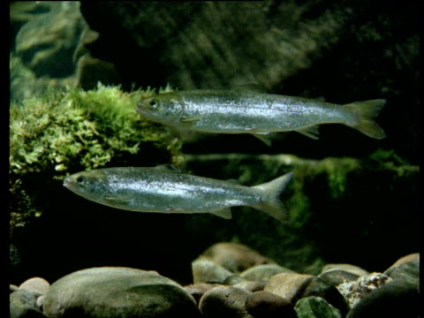 Two salmon parr holding station against current, River Wye, England