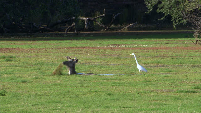 two sambar deers grazing, eating wet plants in ranthambore lake, egret bird looking at deers - wide shot - egret stock videos & royalty-free footage